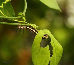 Raupen im Schmetterlingshaus auf der Insel Mainau