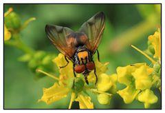 Raupenfliege (Alophora hemiptera) - Männchen