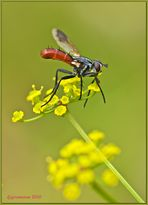 raupenfliege (cylindromyia bicolor).....