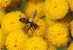 Raupenfliege Cylindromyia bicolor