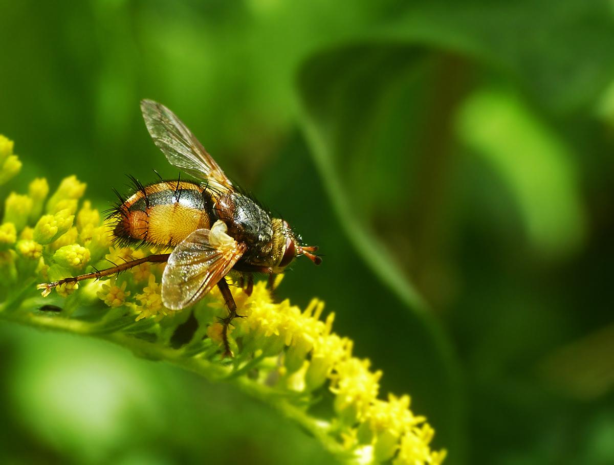 Raupenfliege (Tachina fera) auf Goldrute