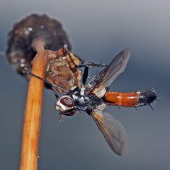 Raupenfliege (Tachinidae), (Ocyptera brassicaria) *