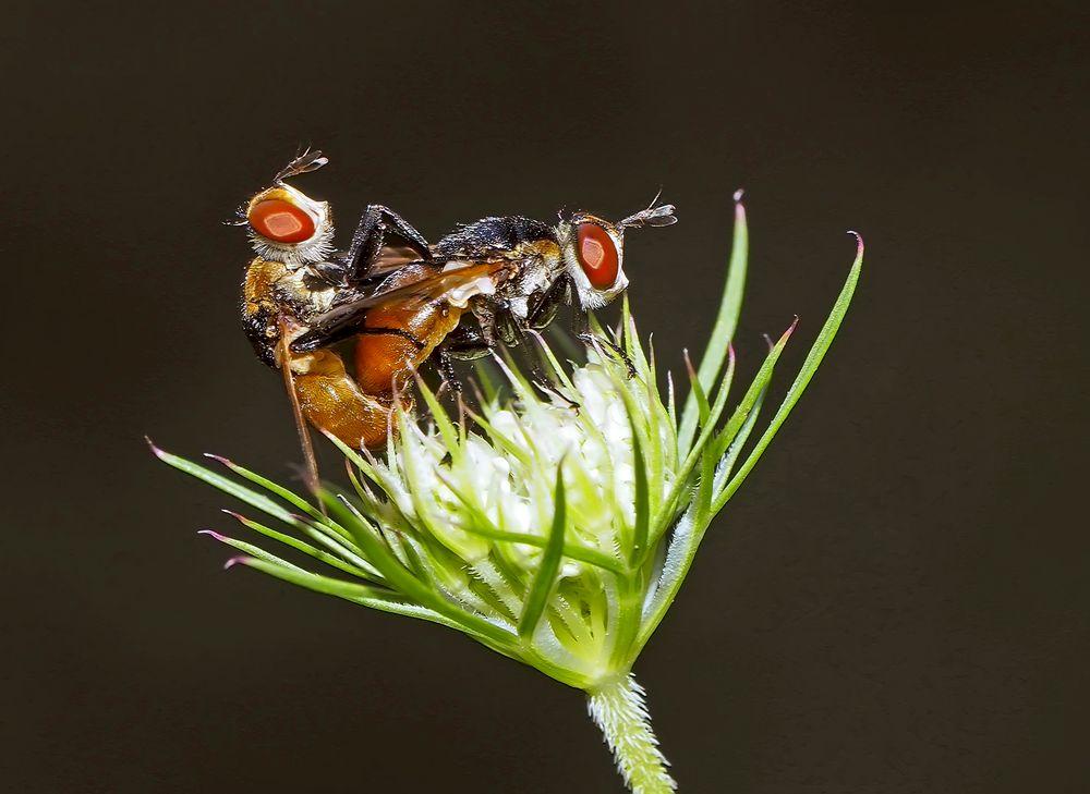Raupenfliegen, die sich lieben! (Gymnosoma rotundatum) - Elles ont l'air de s'aimer tendrement!
