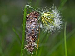 Raupensäckchen vom Moor-Sackträger (Megalophanes viciella) - Fourreau de soie d'une chenille.