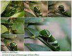 Raupenstadium eines tropischen Schmetterlings Papilio