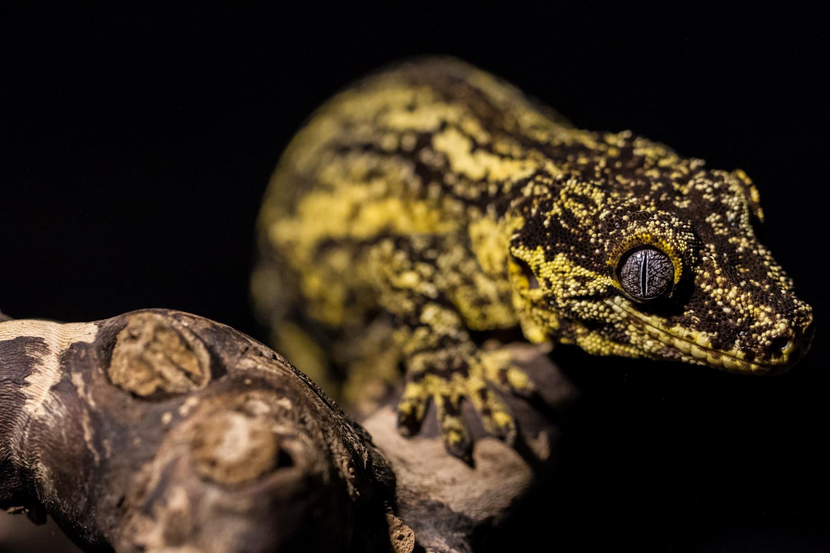 R.Auriculatus ... Der Höckerkopfgecko