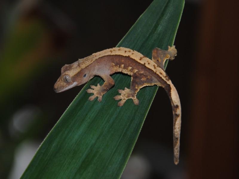 R.ciliatus 01