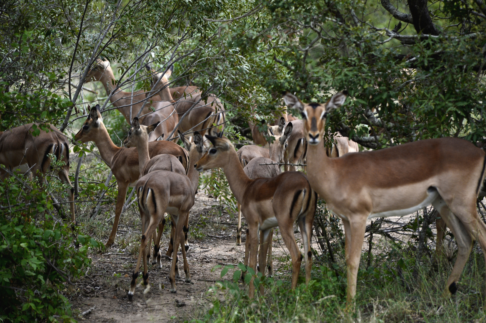 Rebaño de impalas