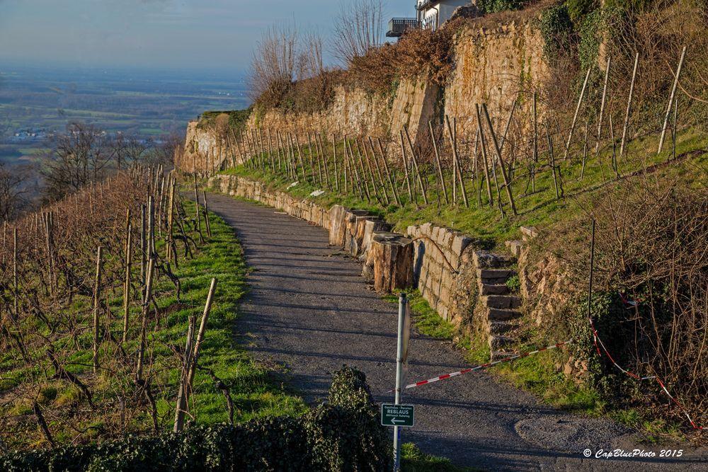 Rebstöcke im Winter bei Burg Windeck (Kappelwindeck bei Bühl Baden)