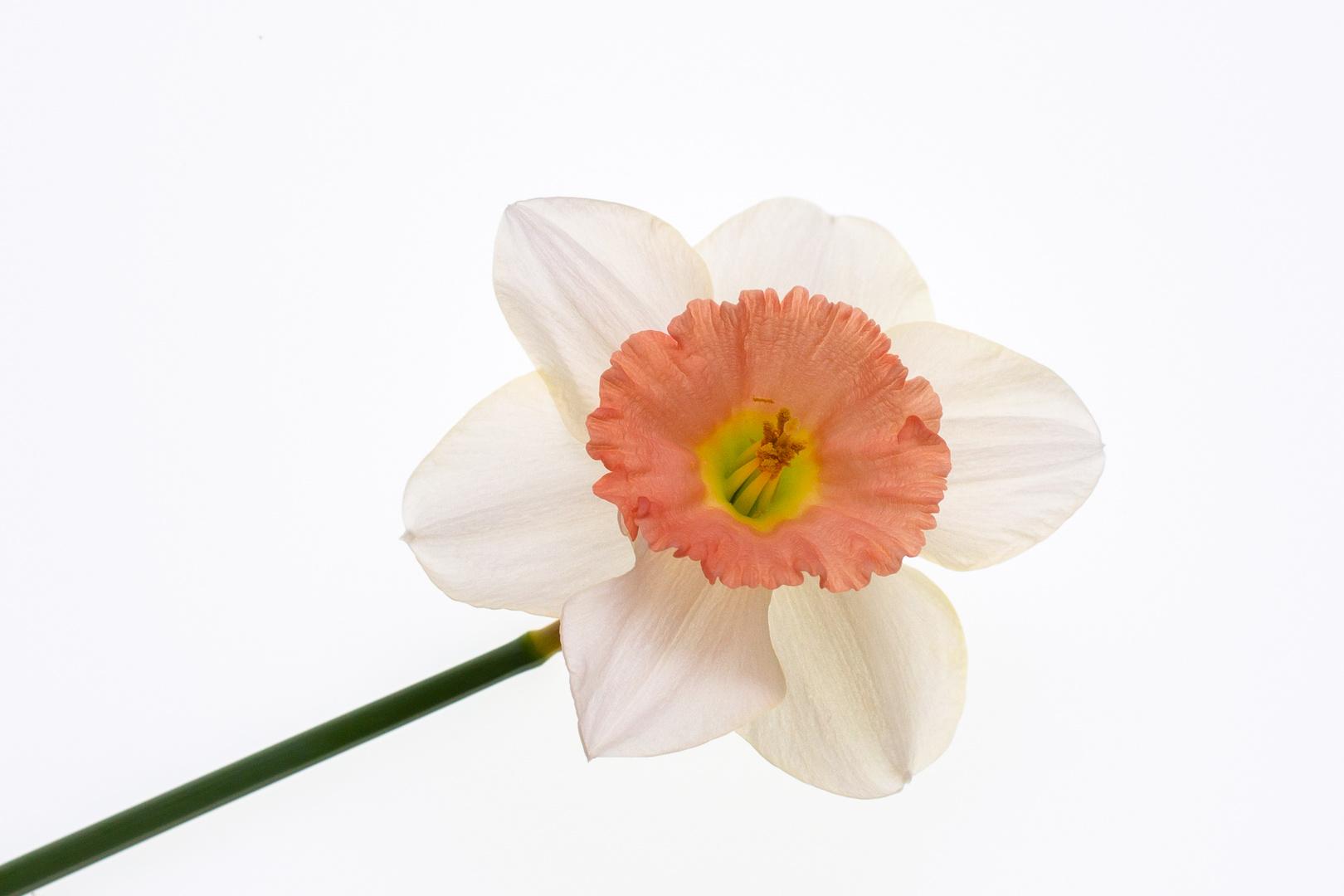 Reclining Daffodil