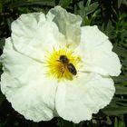 recolectando polen...FERNANDO LÓPEZ   fOTOGRAFÍAS...