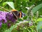 Red Admiral, shimmer in the sun.