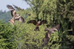 Red And Black Kites