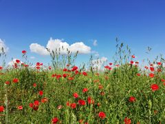 Red as poppy and blue as the sky