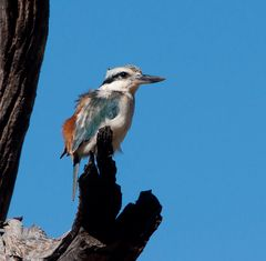 Red - backed Kingfisher