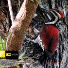 Red-backed Woodpecker ( Dinopium benghalense psarodes).