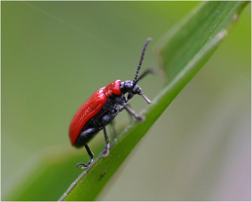 * Red Beetle *