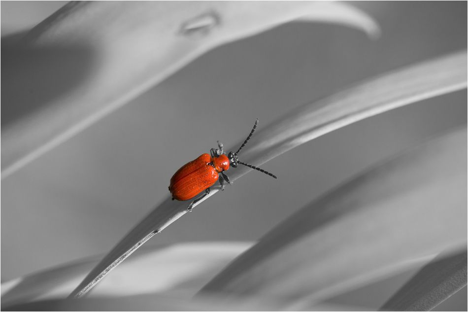 Red Beetle ~ Renaissance