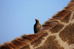 ~red-billed oxpecker~