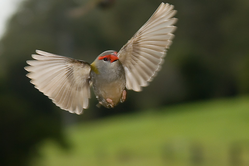 Red Browed Finch in flight
