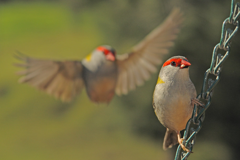 Red Browed Finches