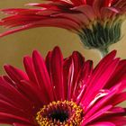 Red daisy with yellow centre