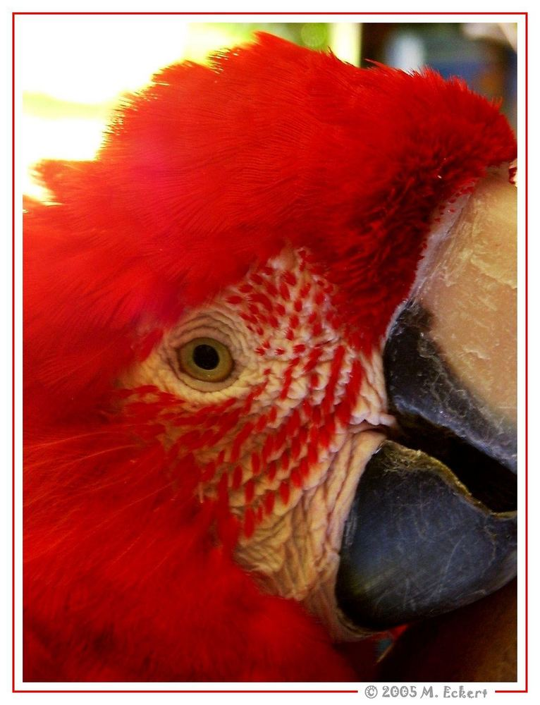Red Feathers