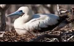 [ Red-footed Booby ]