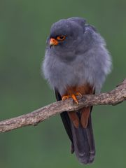 Red-footed falcon, female
