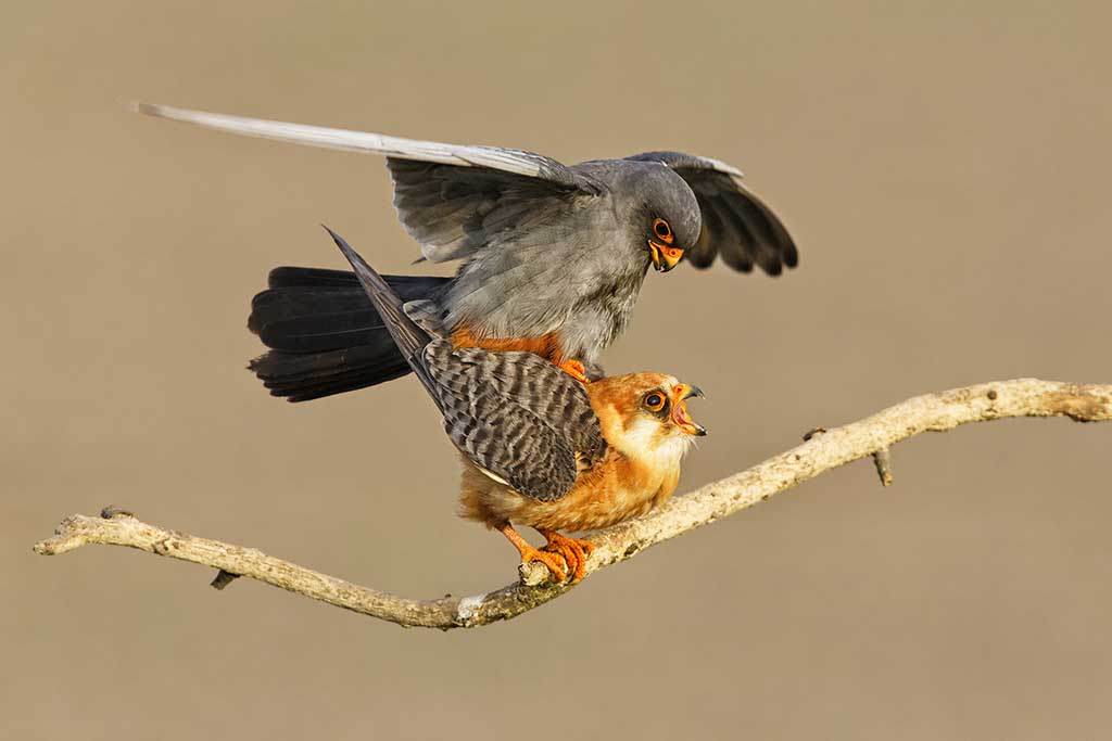 Red Footed Falcon Mating