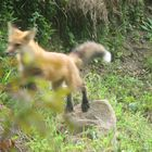 Red fox mid air capture
