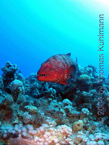 Red Grouper 02
