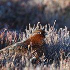 Red Grouse (Schottisches Moorschneehuhn)