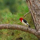 Red-headed Woodpecker (Melanerpes erythrocephalus)