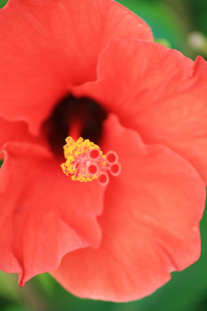 Red Hibiskus
