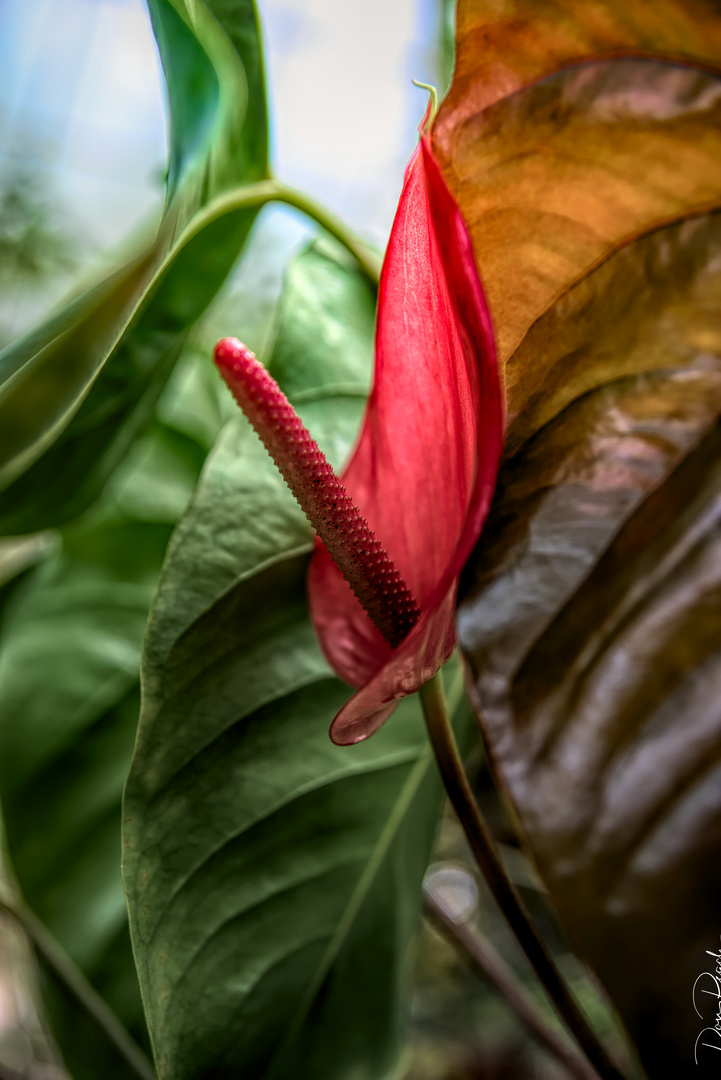 Red Lilly 1