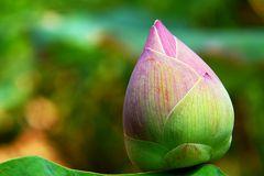 Red lotus bud