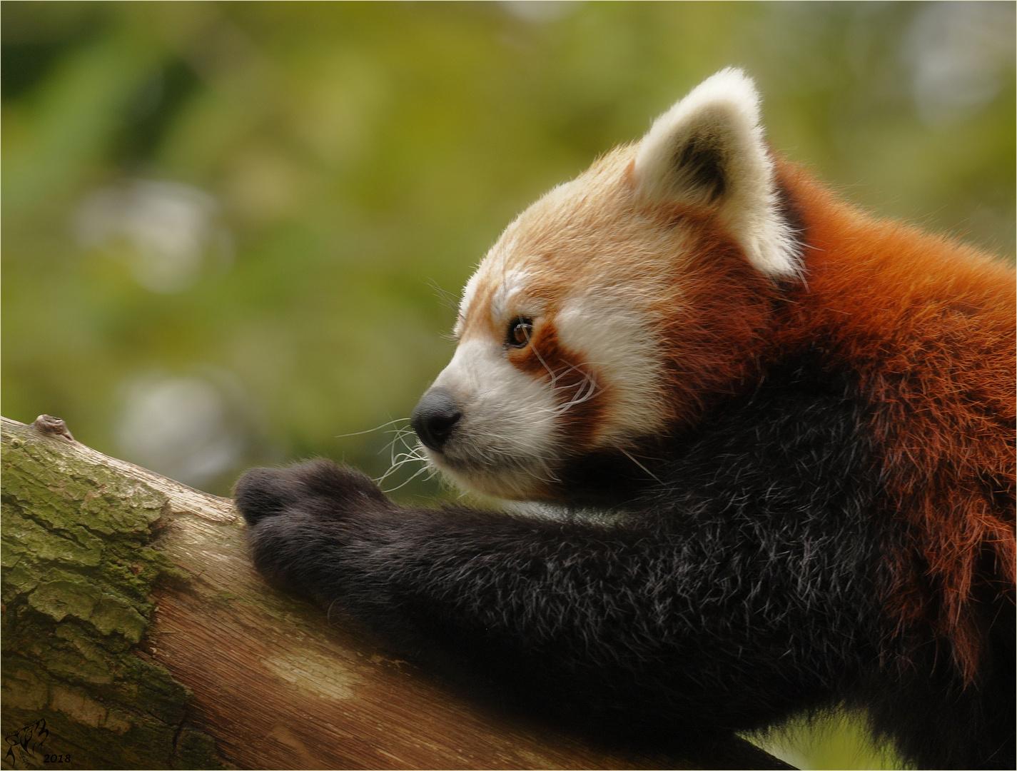 Red panda ..