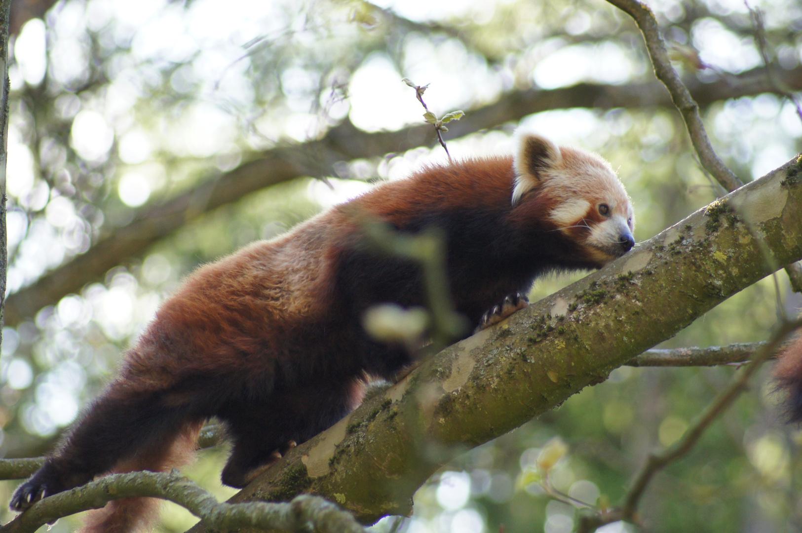 Red Panda, Firefox