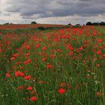 [ Red Poppy 2010 (9) ]