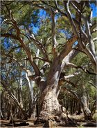 Red River Gum Trees