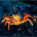 [ Red Rock Crab ]