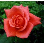 red rose-5