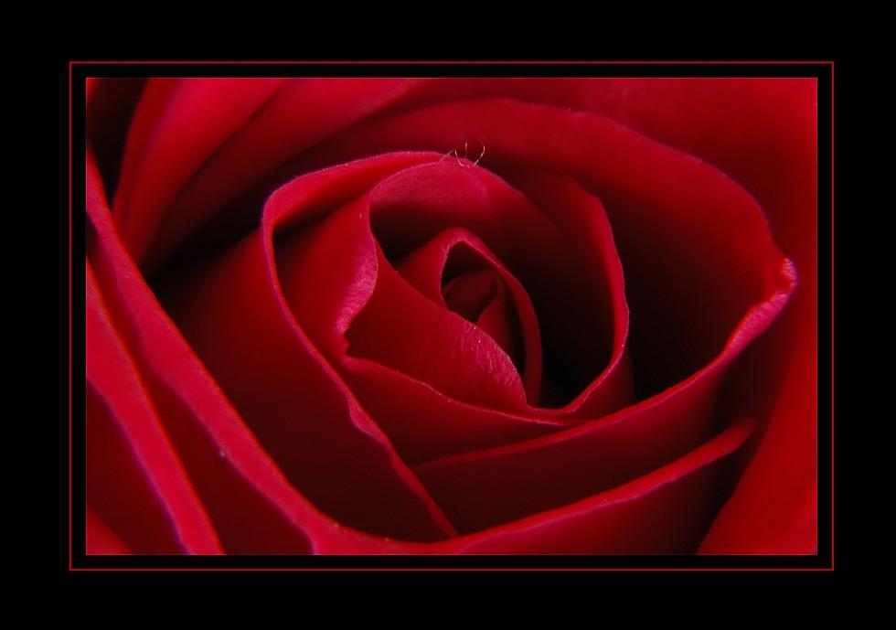 ... red rose ...