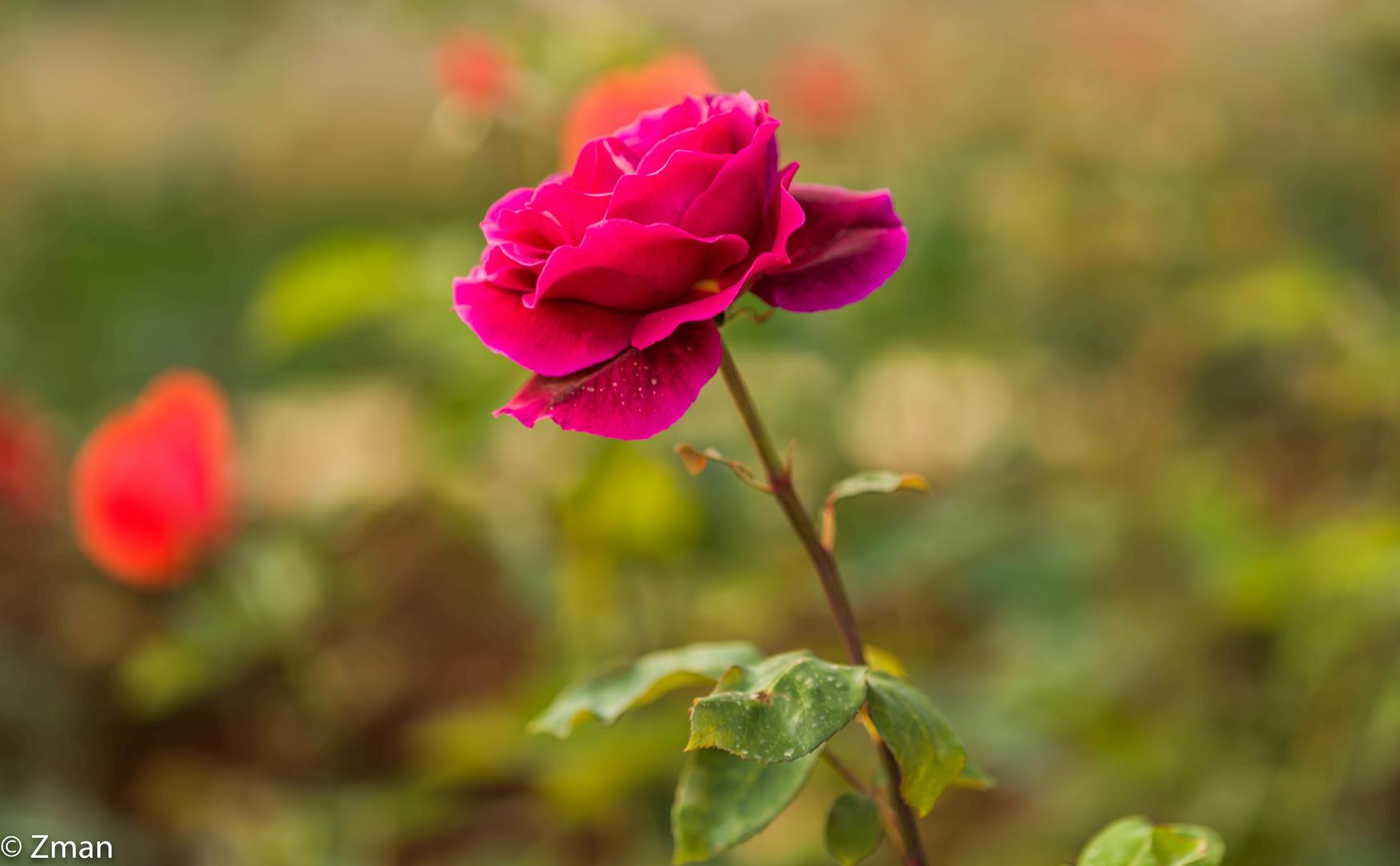 Red Rose B0002157-34