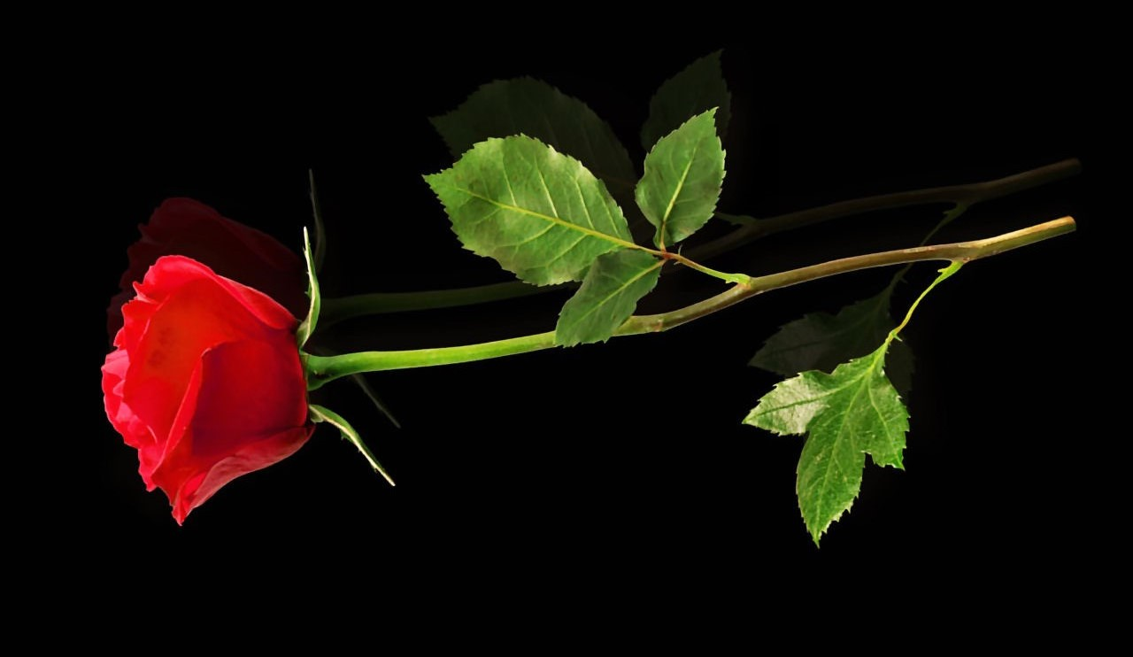 Red rose for my friends