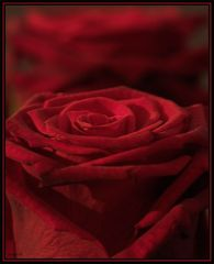 red Roses (2)