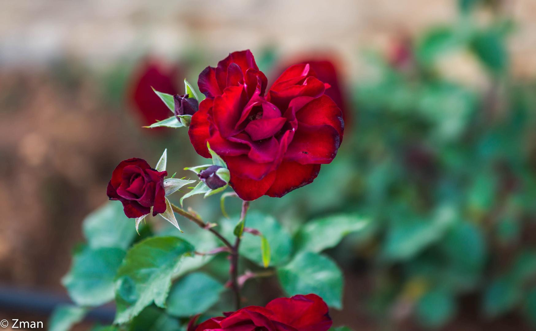 Red Roses  B0001756-2