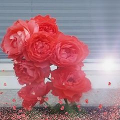 red ~ roses