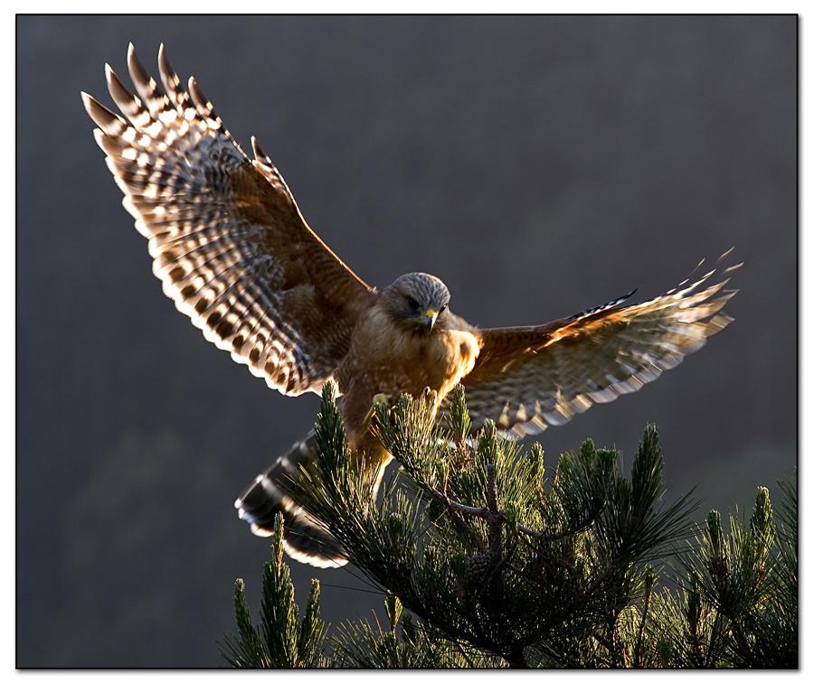 Red Shouldered Hawk 26